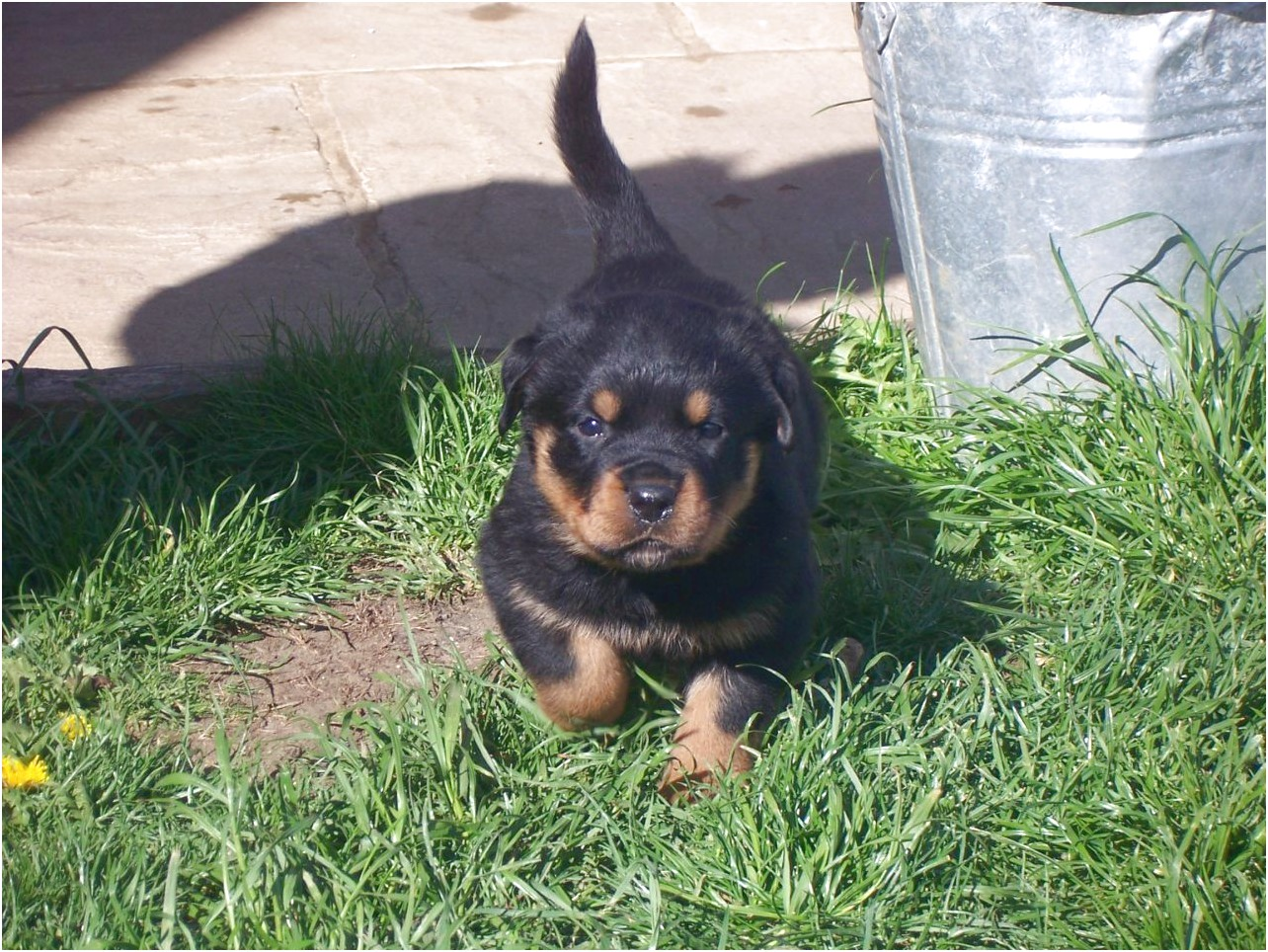 100 german rottweiler puppies for sale