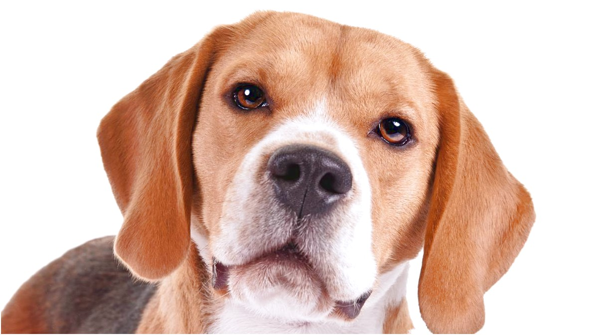 13 inch beagles for adoption