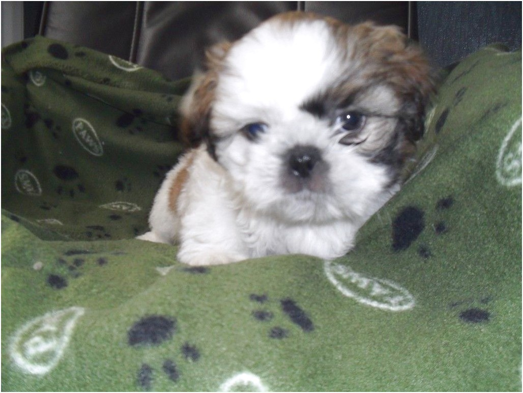 2 year old shih tzu for sale in cheshire