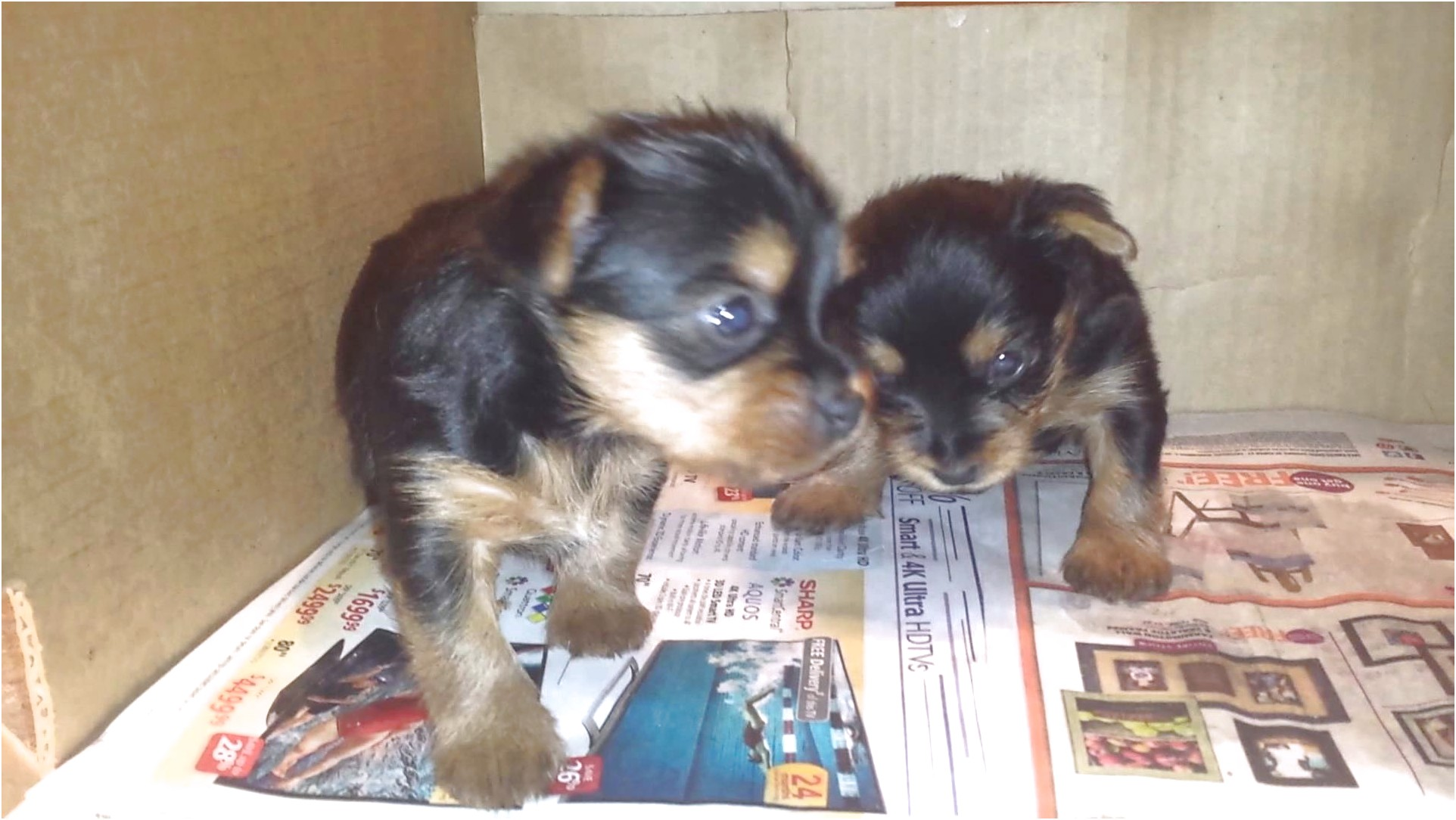 3 week old yorkshire terrier puppies