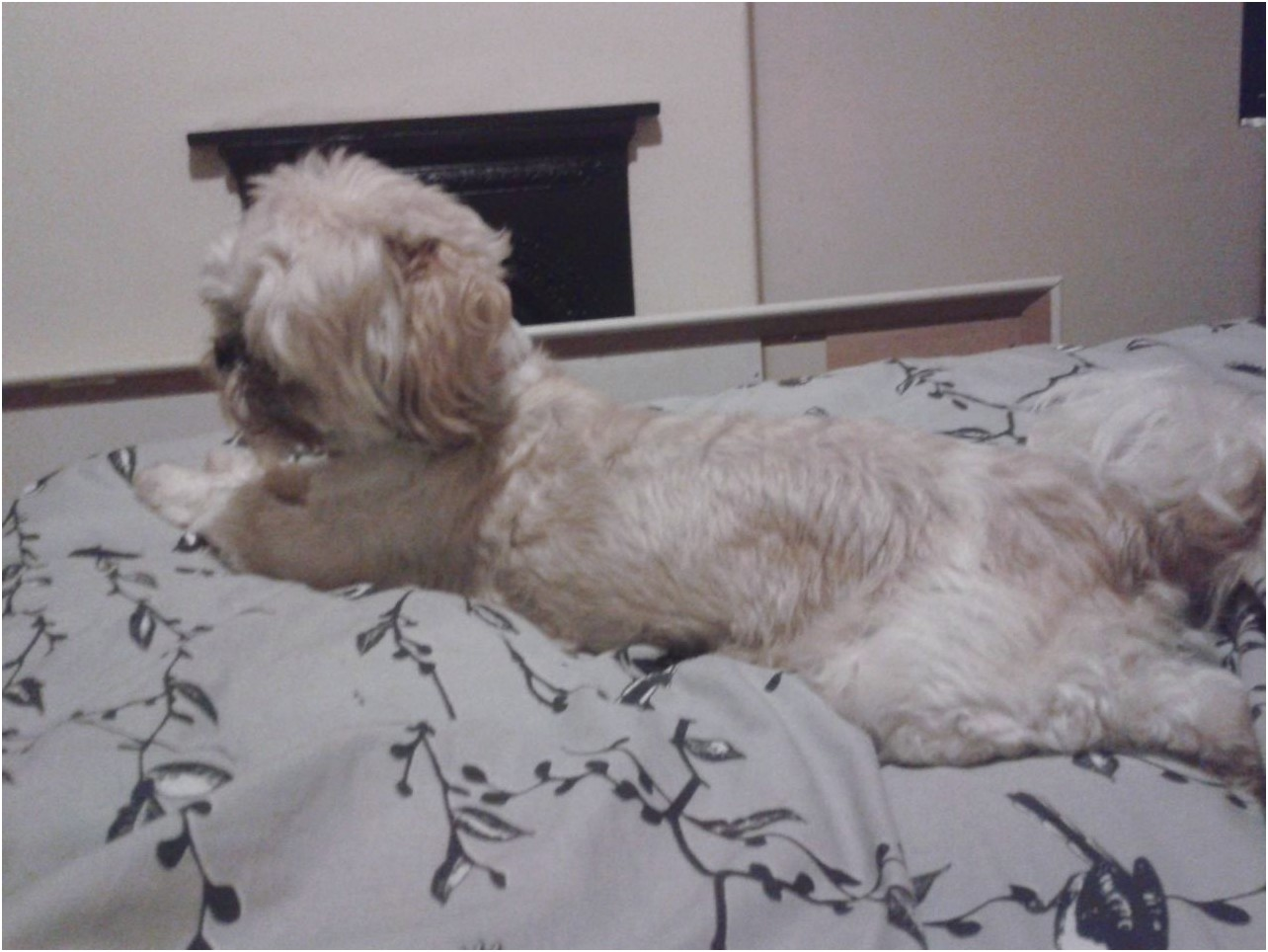 3 year old shih tzu for sale