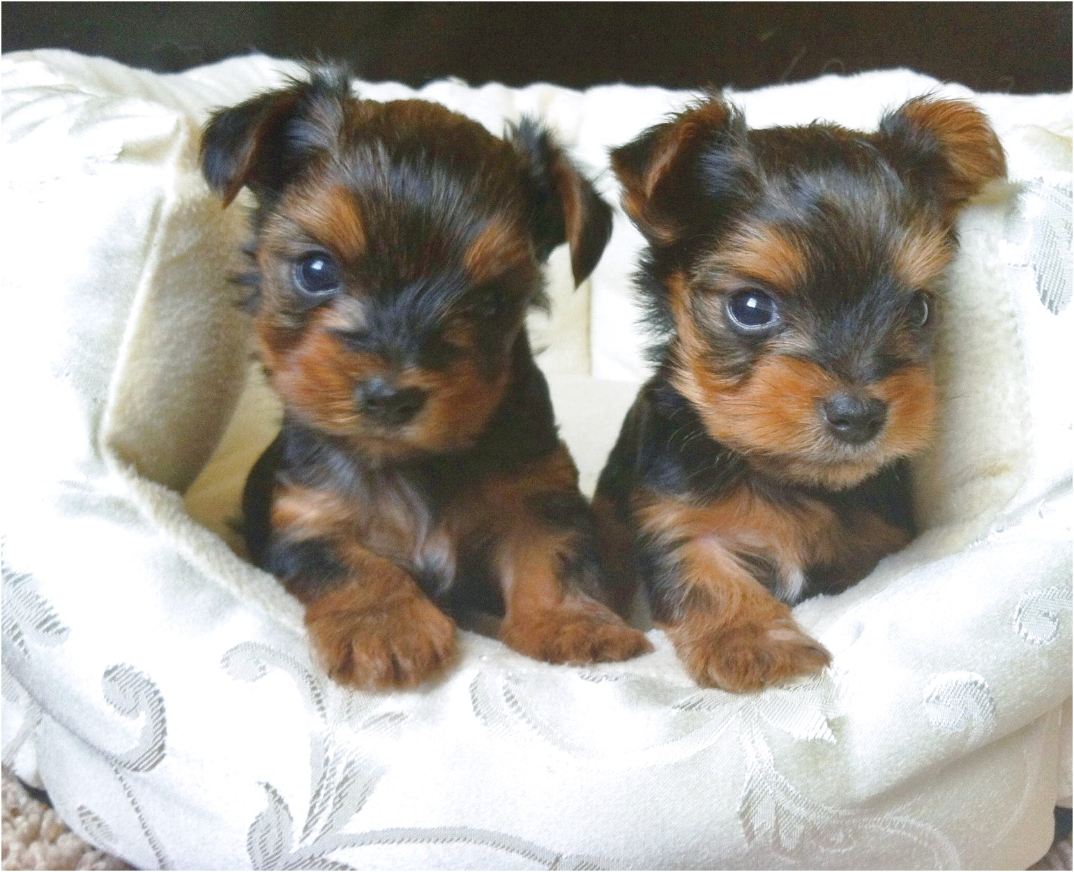 4 week old yorkshire terrier puppies