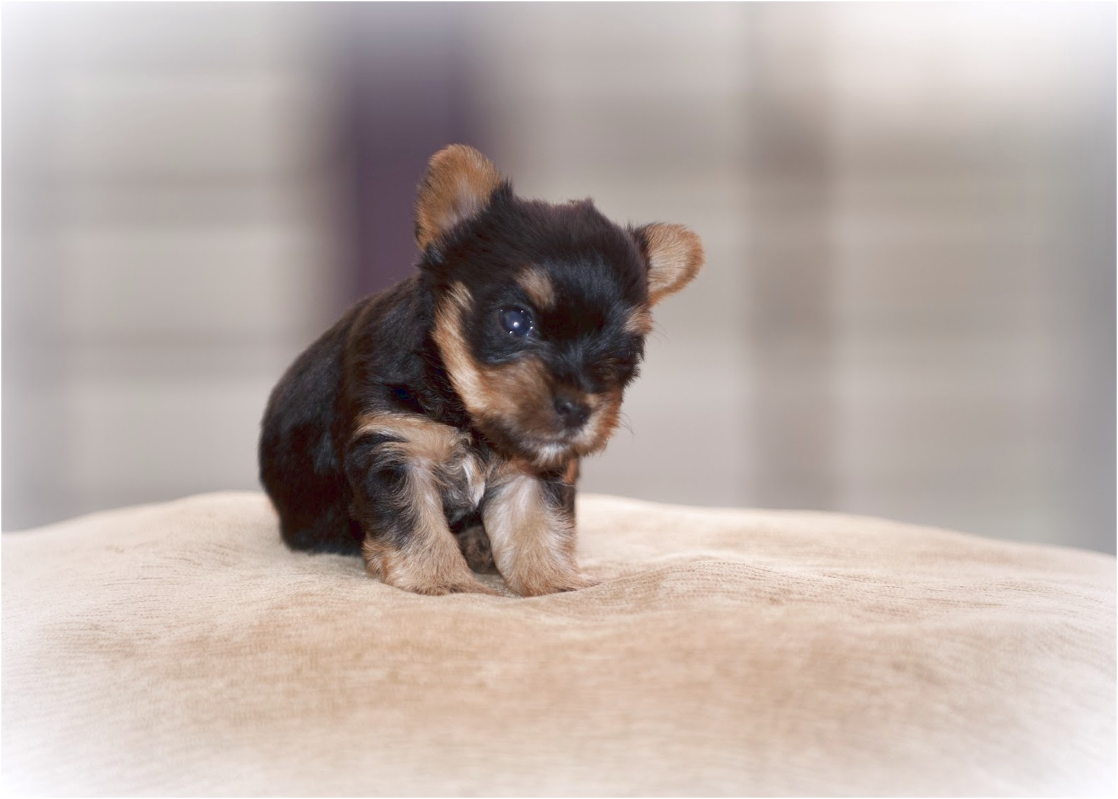 5 week old yorkshire terrier puppy
