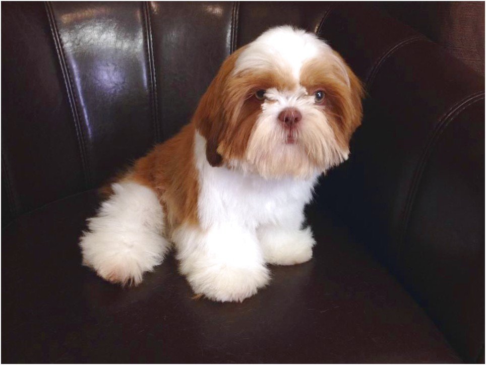 5 year old shih tzu for sale