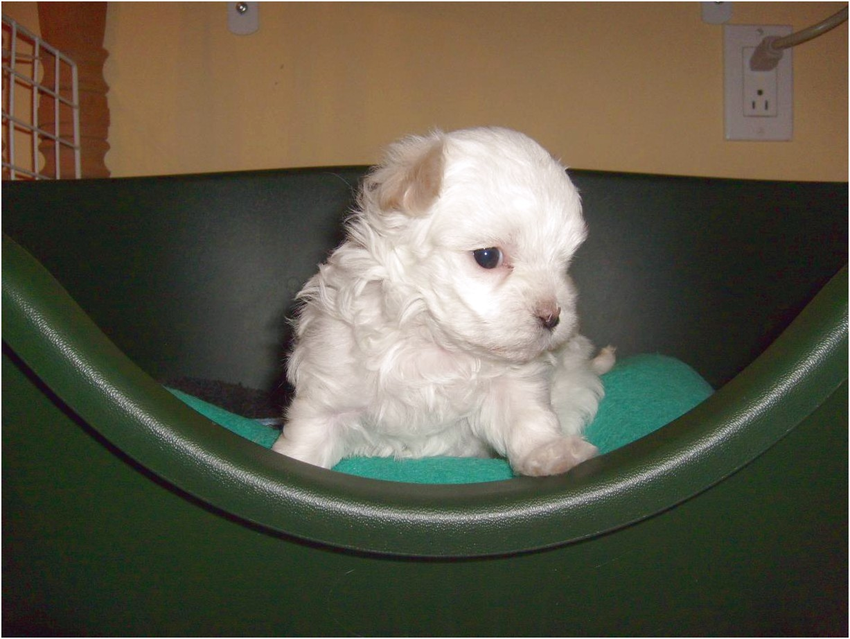 6 week old maltese puppies for sale