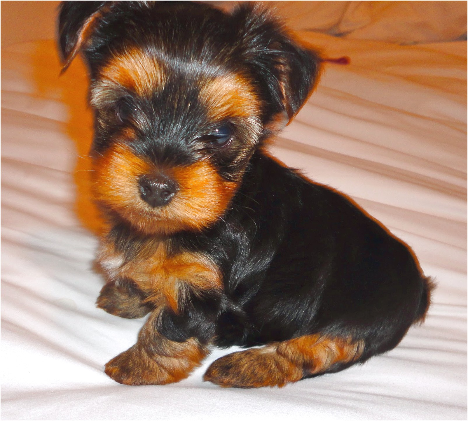 6 week old yorkshire terrier puppy