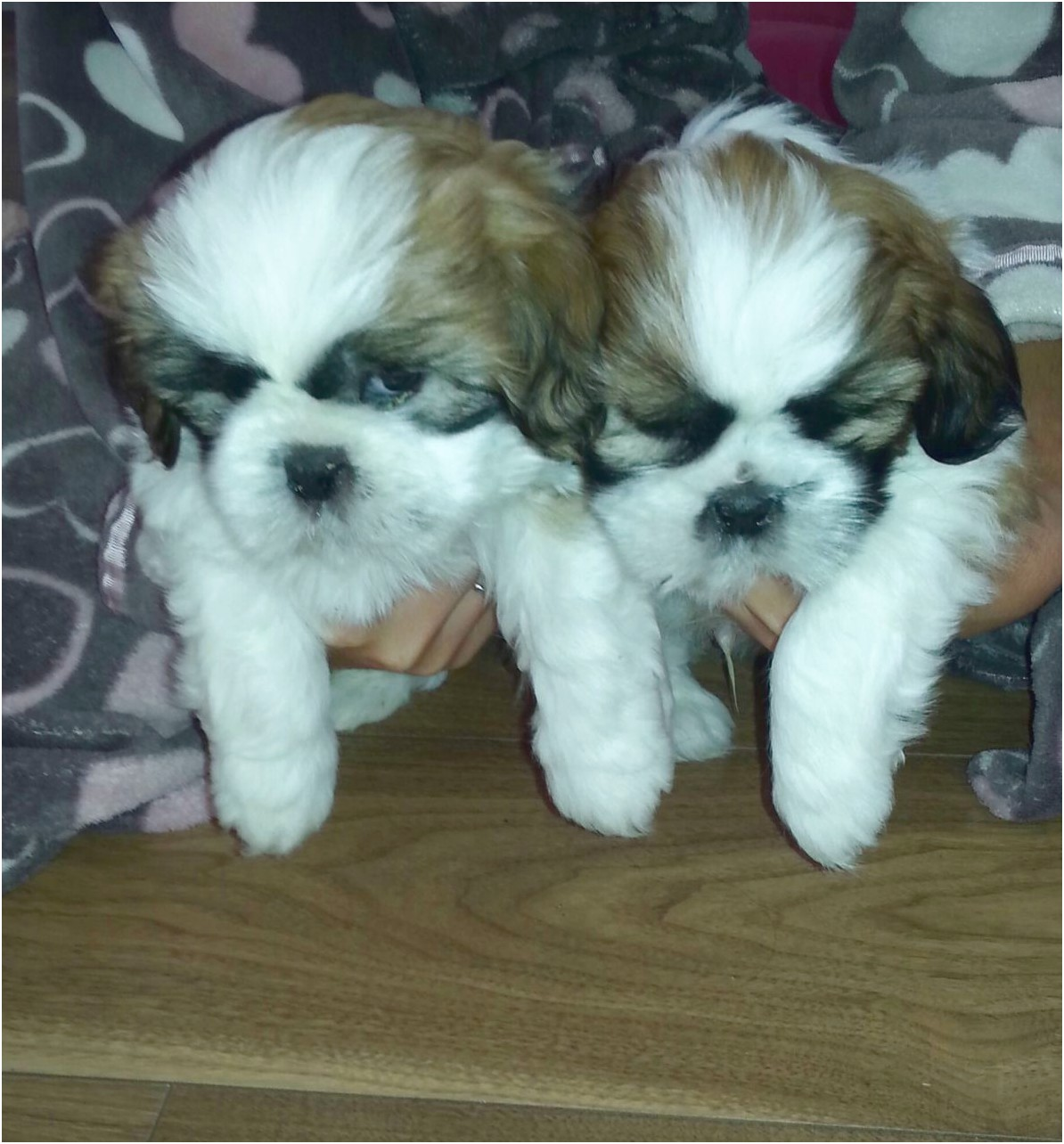 8 week old shih tzu puppies for sale