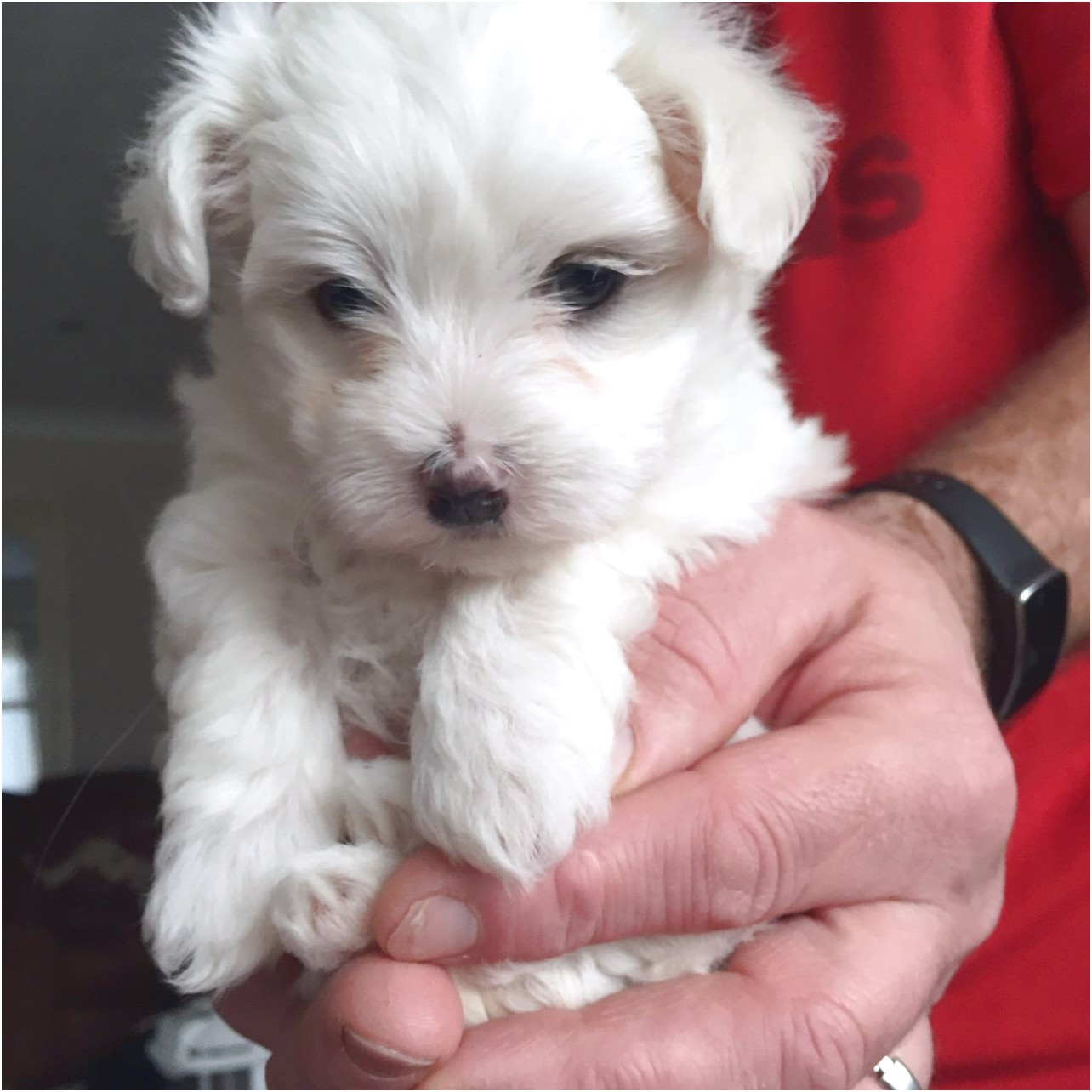 Adopt A Maltese Puppy For Free
