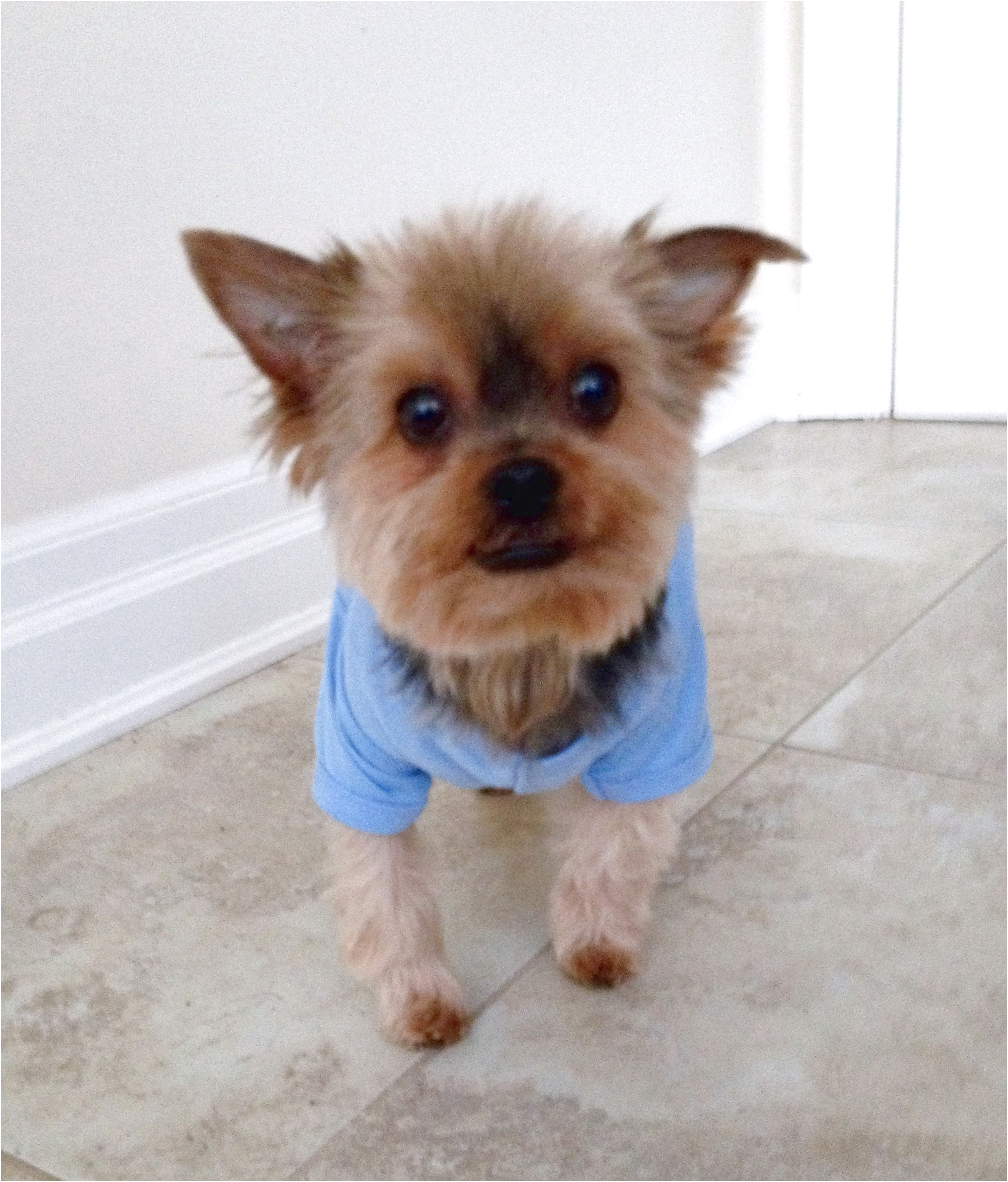 Adopt A Yorkshire Terrier