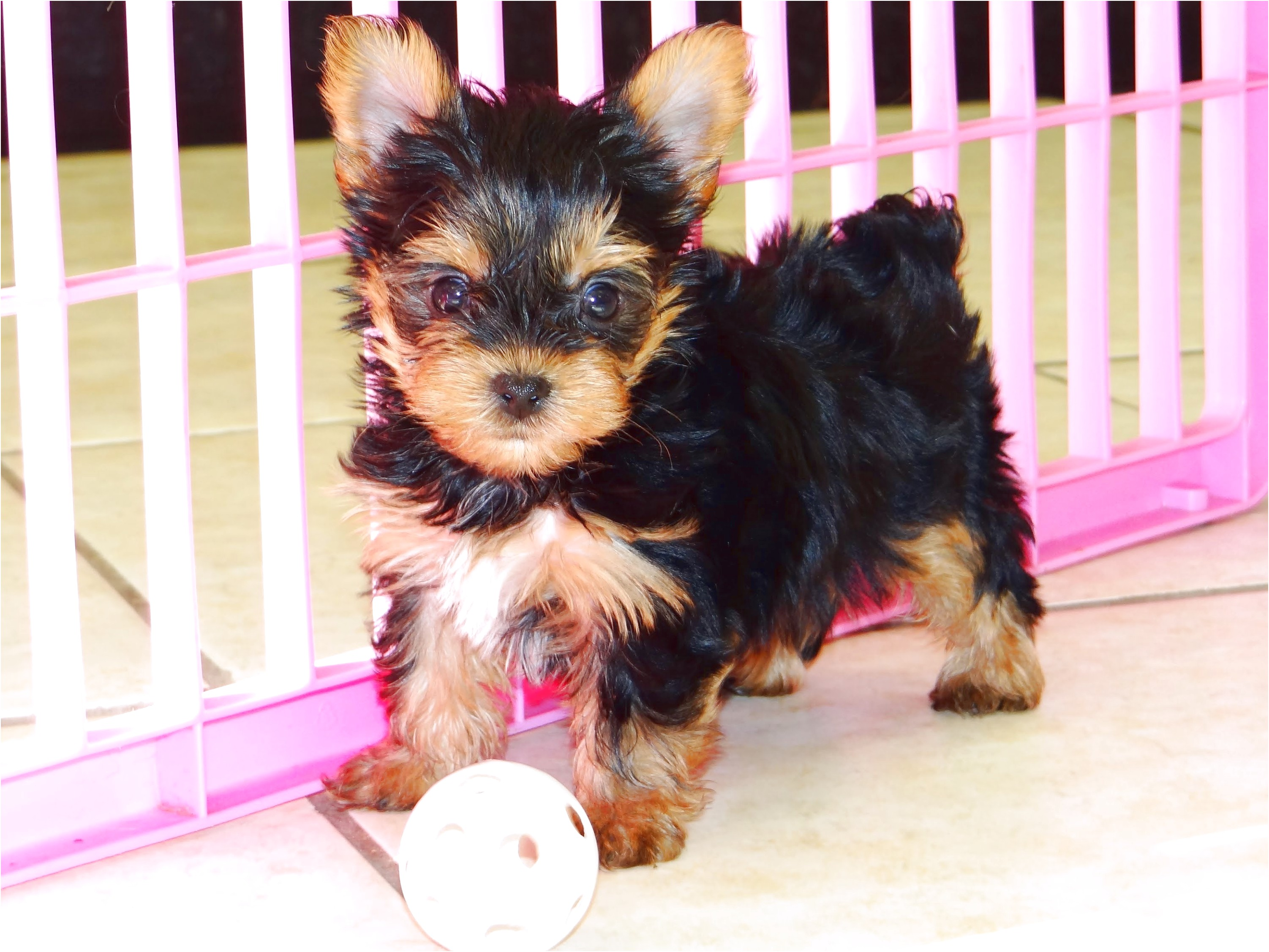 Adopting A Yorkshire Terrier