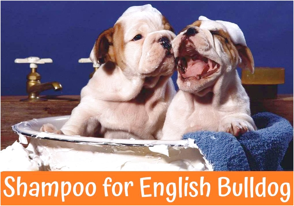 Best Shampoo For English Bulldog