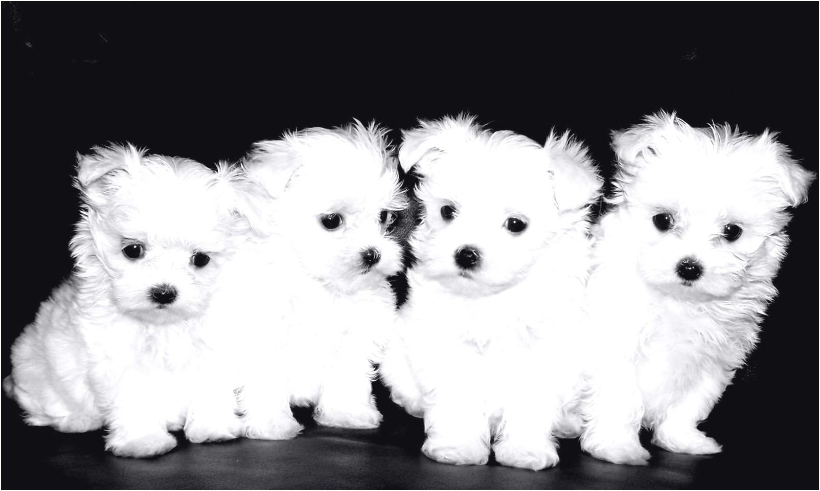 Cheap Maltese Puppies For Sale