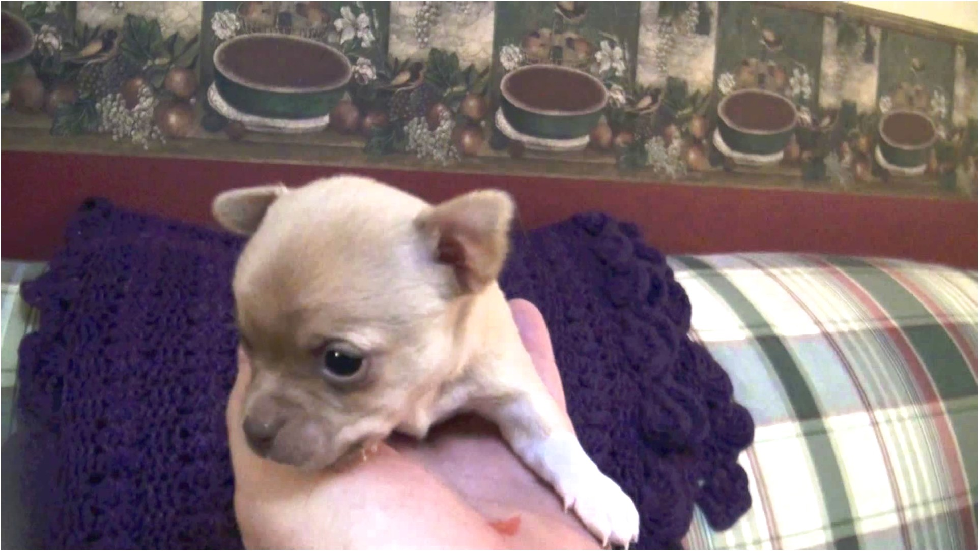 Chihuahua For Sale In Va