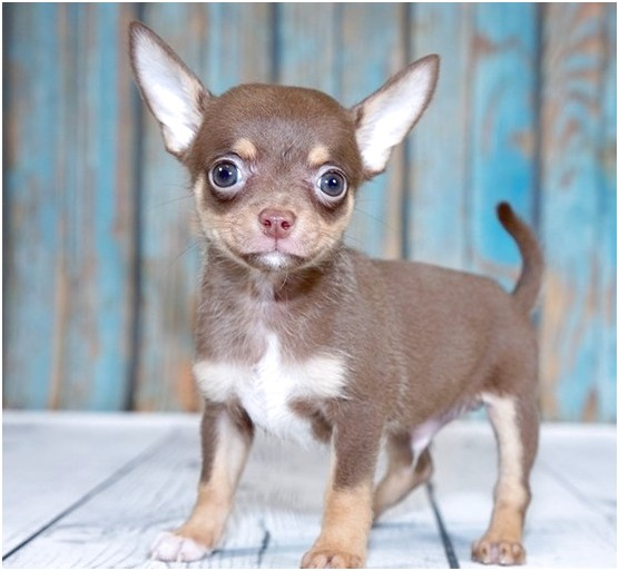 Chihuahua Puppies For Sale In Ga