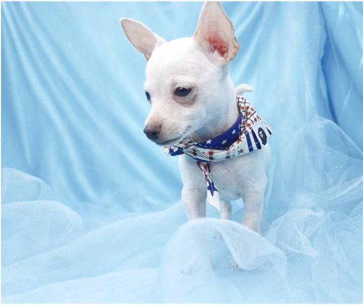 Chihuahua Puppies For Sale In Greensboro Nc