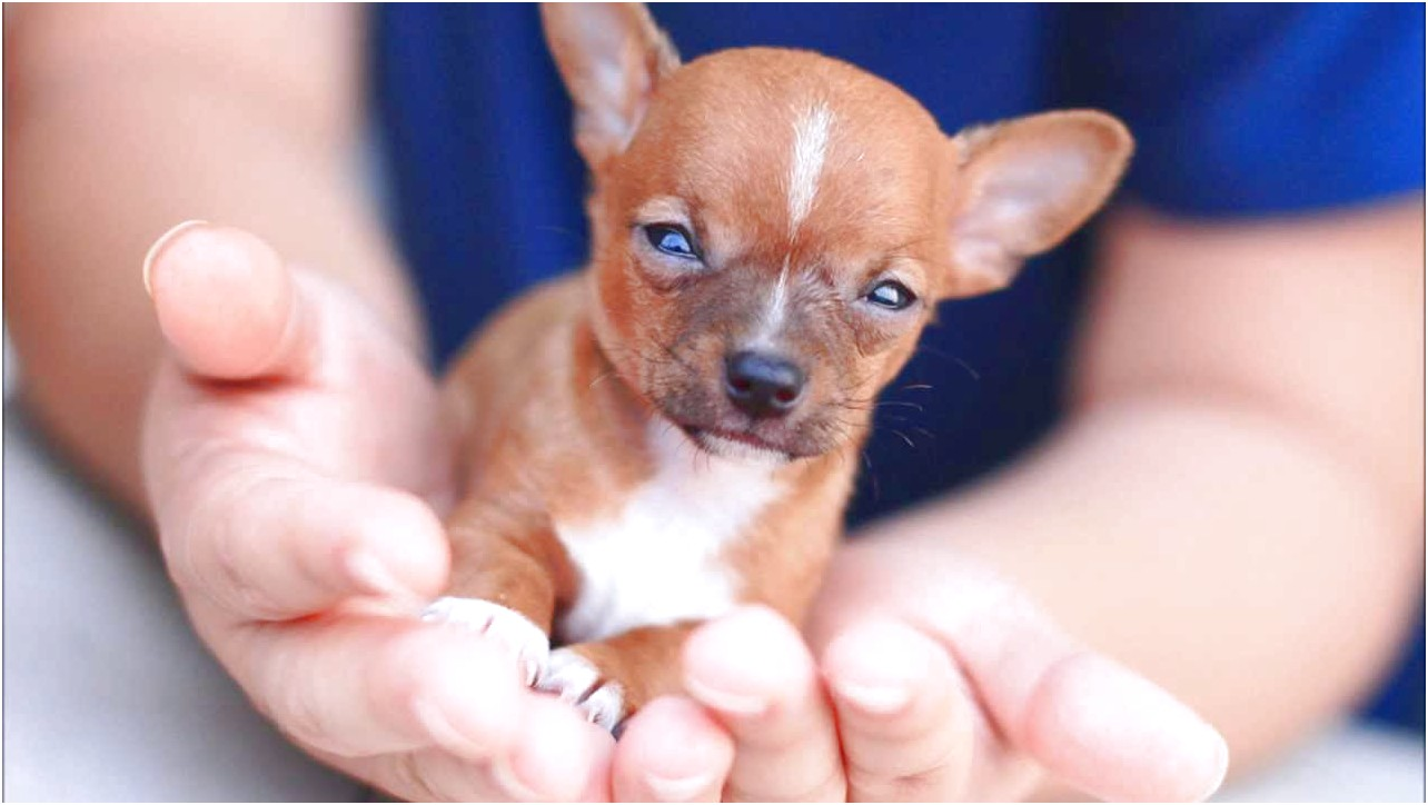 Chihuahua Puppies For Sale Near Me