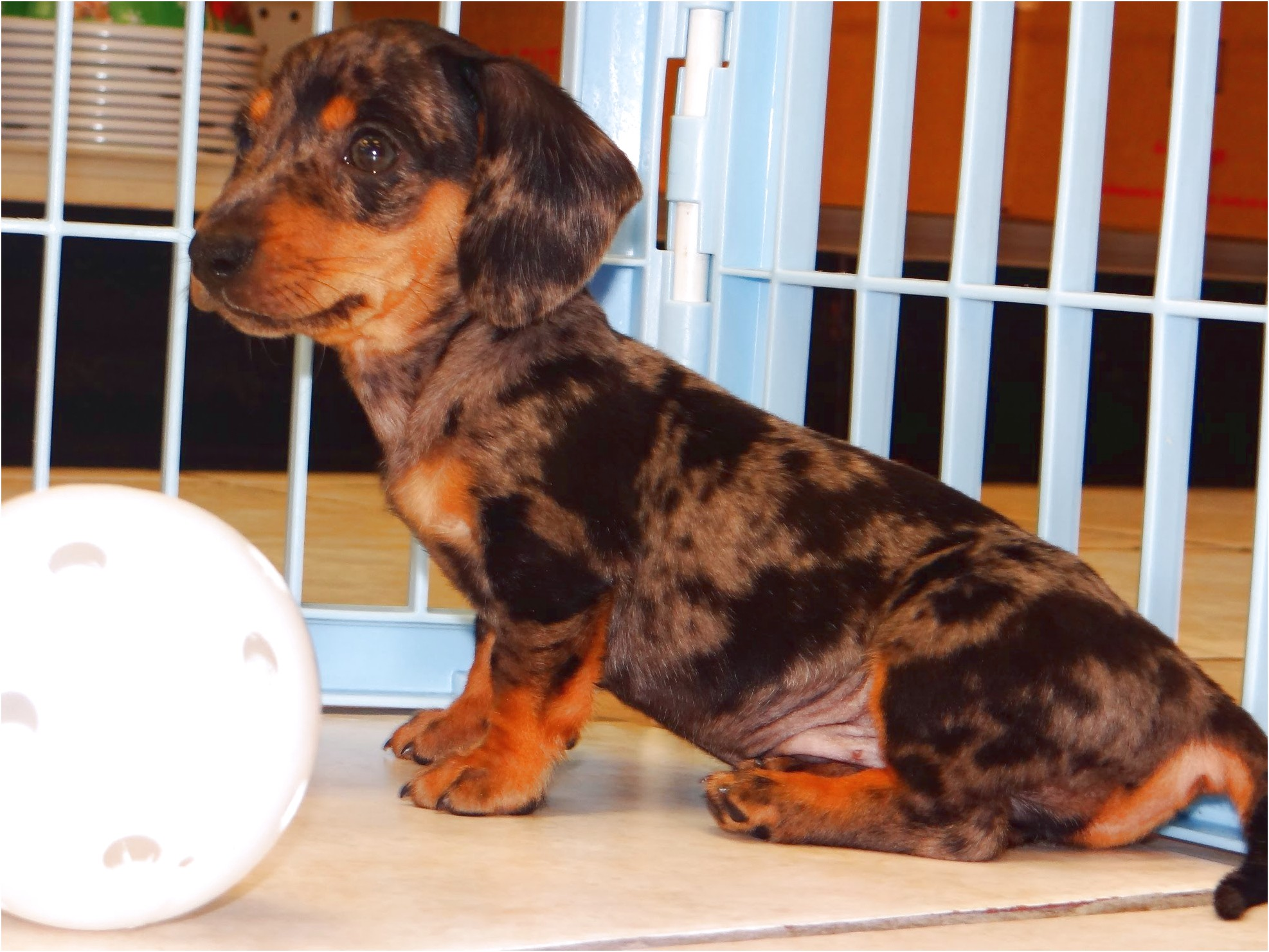Dachshund Puppies For Sale In Ga