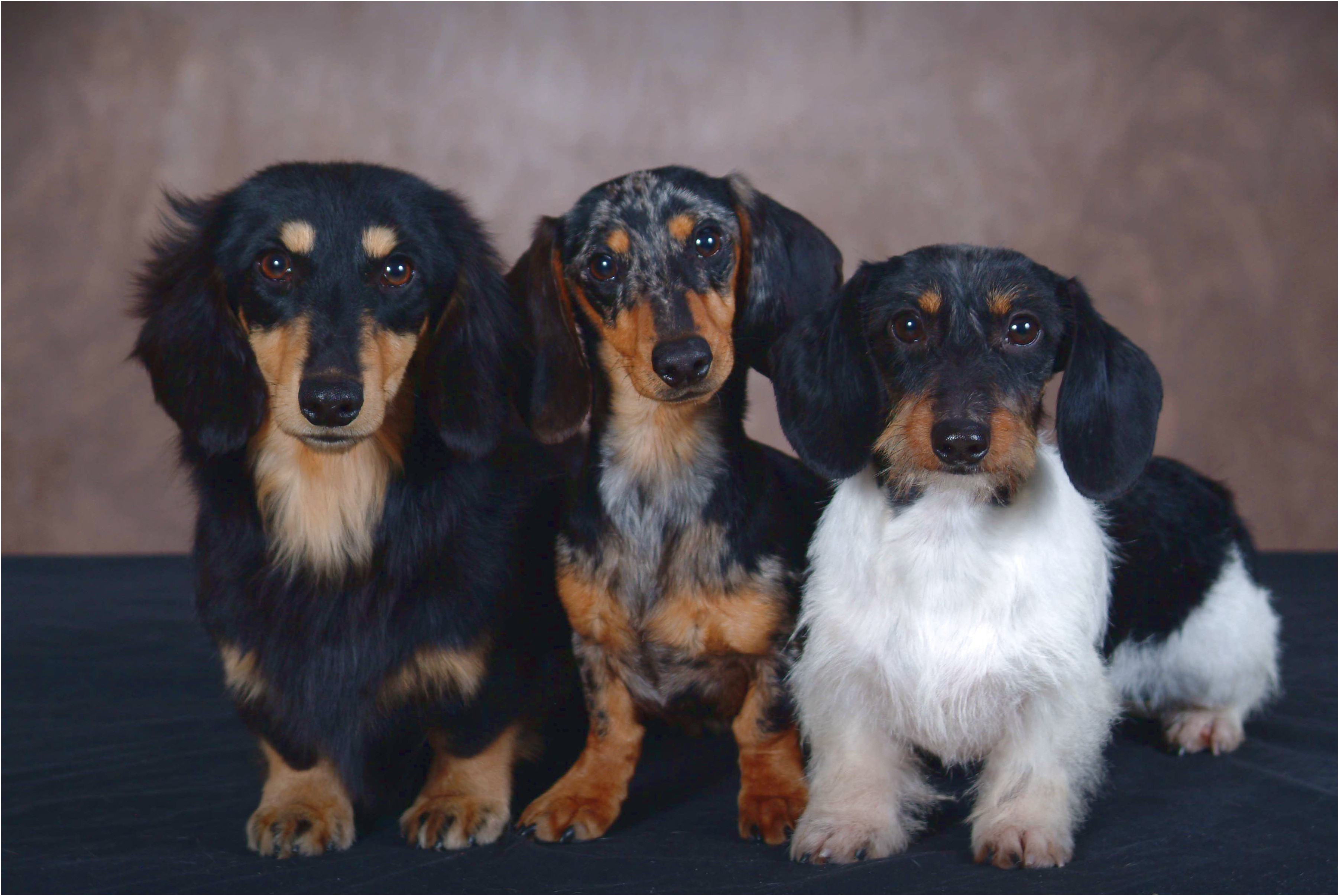 Dachshund Puppies For Sale In Missouri