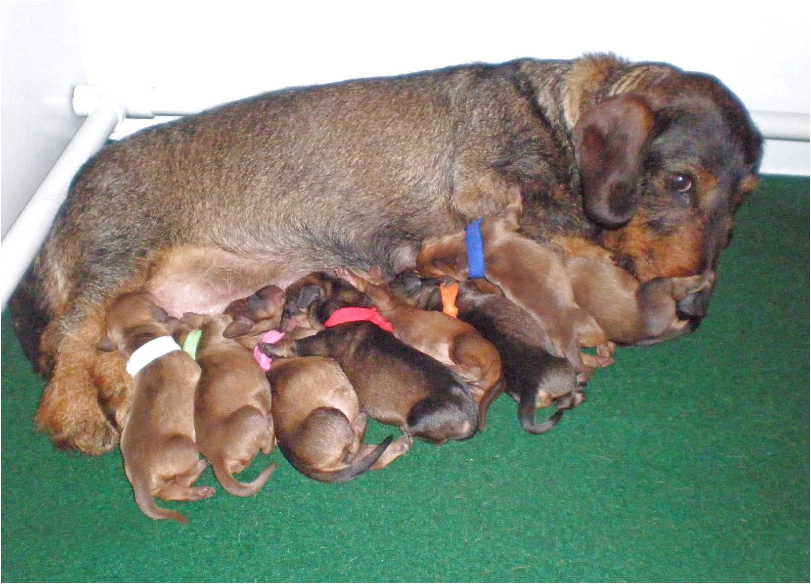Dachshund Puppies For Sale In Nc