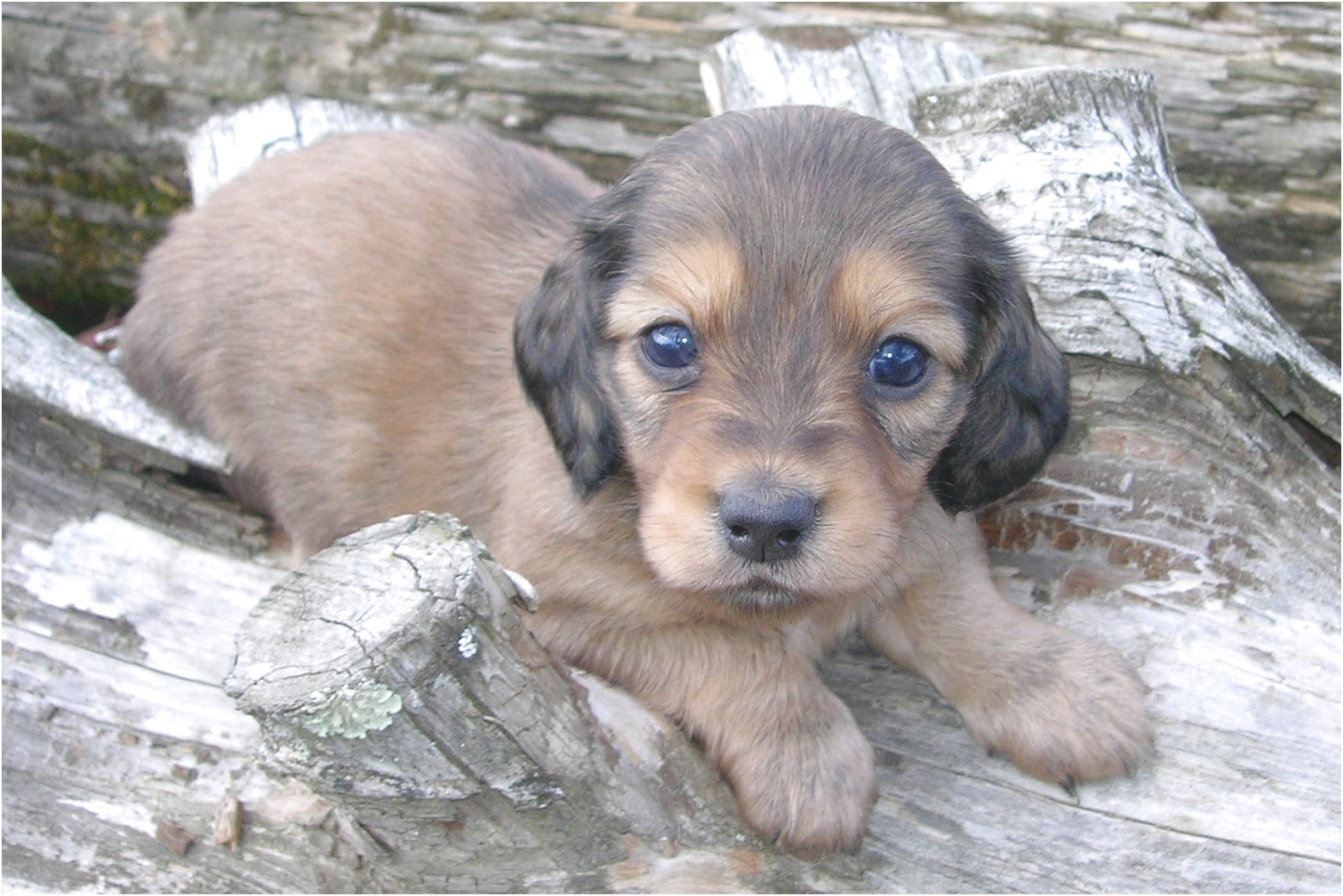 Dachshund Puppies For Sale In Tn
