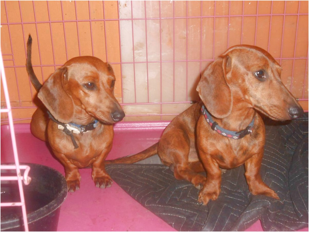 Dachshund Puppies For Sale In Va