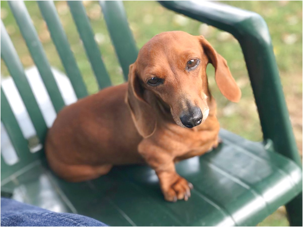 Dachshunds For Sale In Ohio