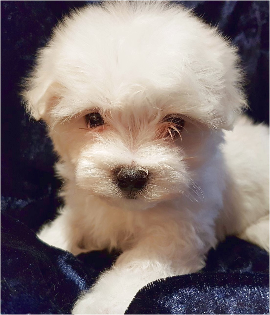 Free Maltese Puppies For Adoption