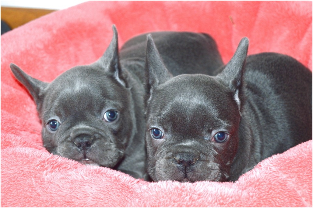 French Bulldog Breeders Florida