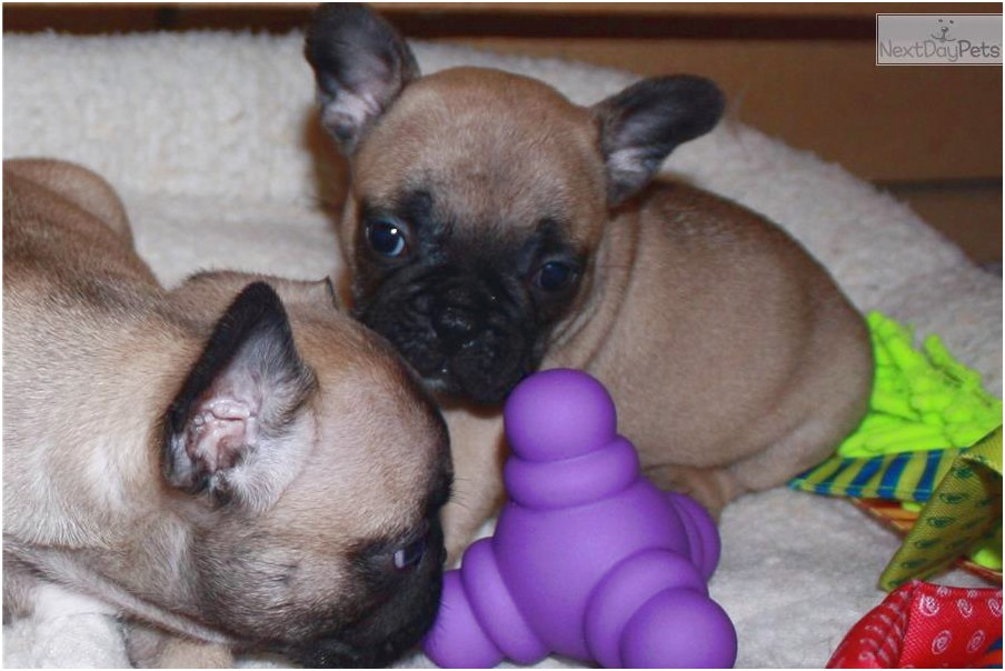 French Bulldog Breeders Wi
