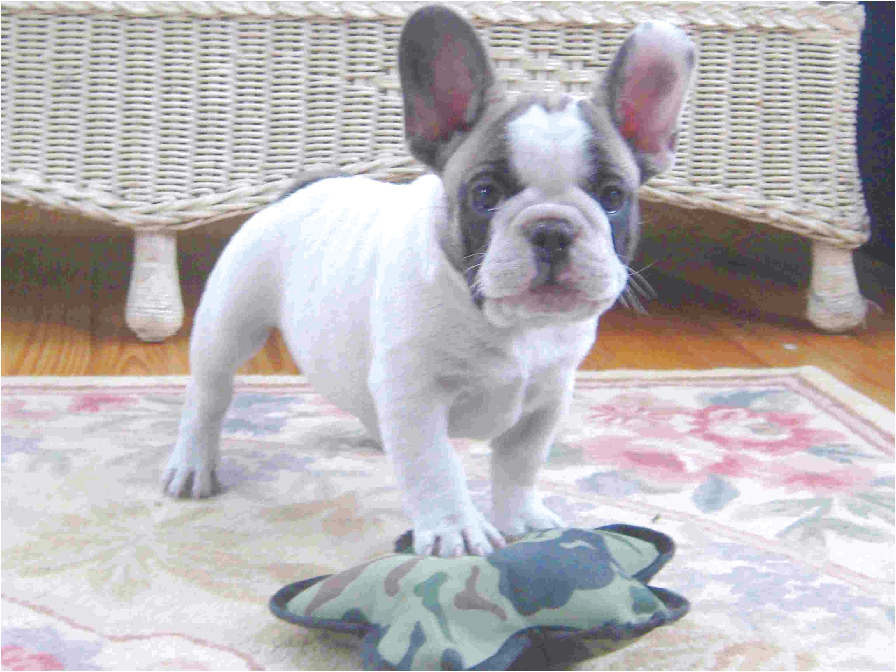 French Bulldog Puppies For Sale In Va