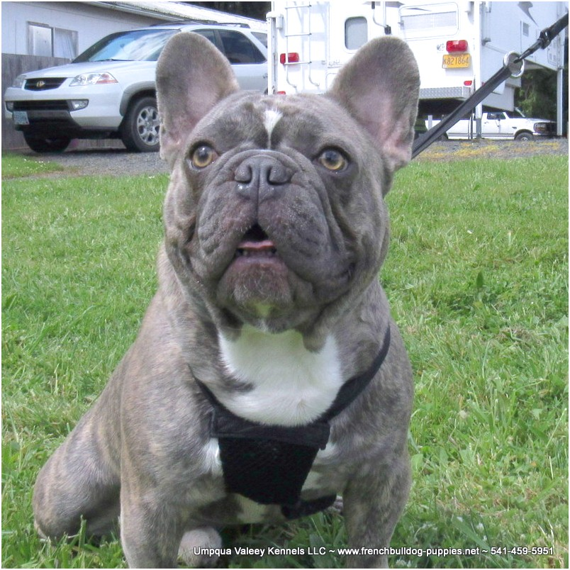 French Bulldog Rescue Oregon