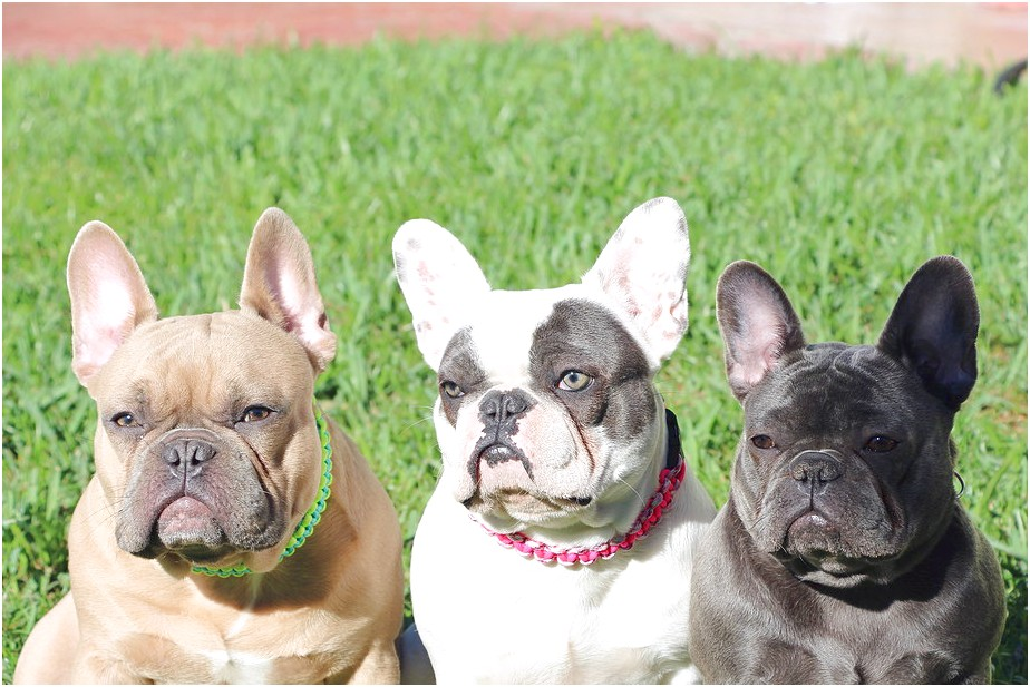 French Bulldog South Florida