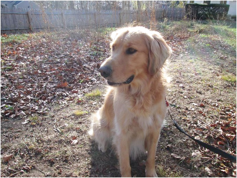 Golden Retriever Rescue Ct