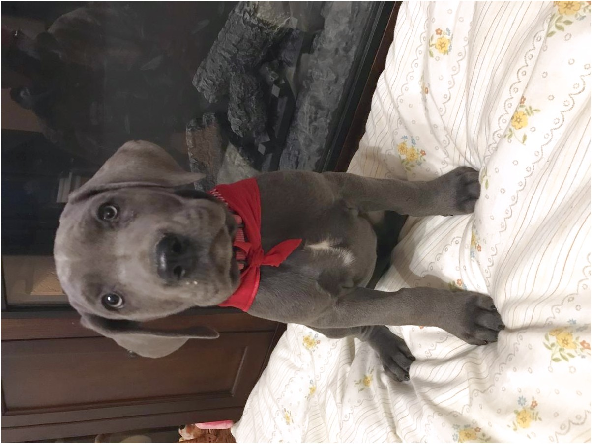 Great Dane Puppies For Sale Illinois