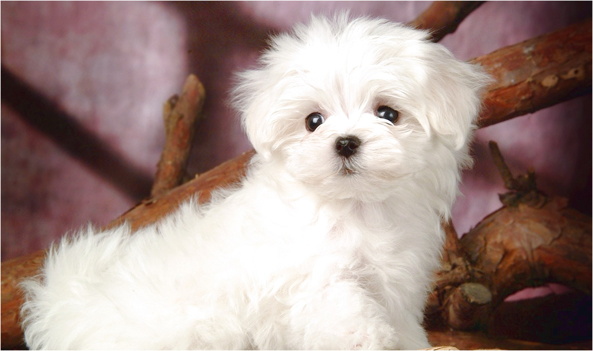 How Much Is A Maltese Puppy