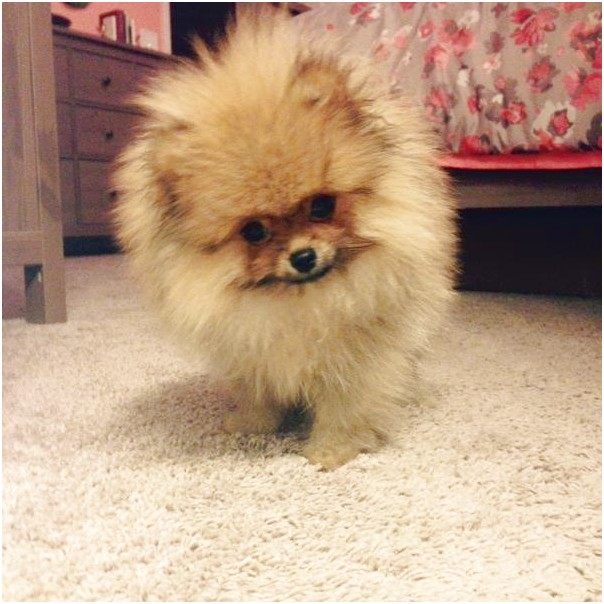 How Much Is A Pomeranian Dog