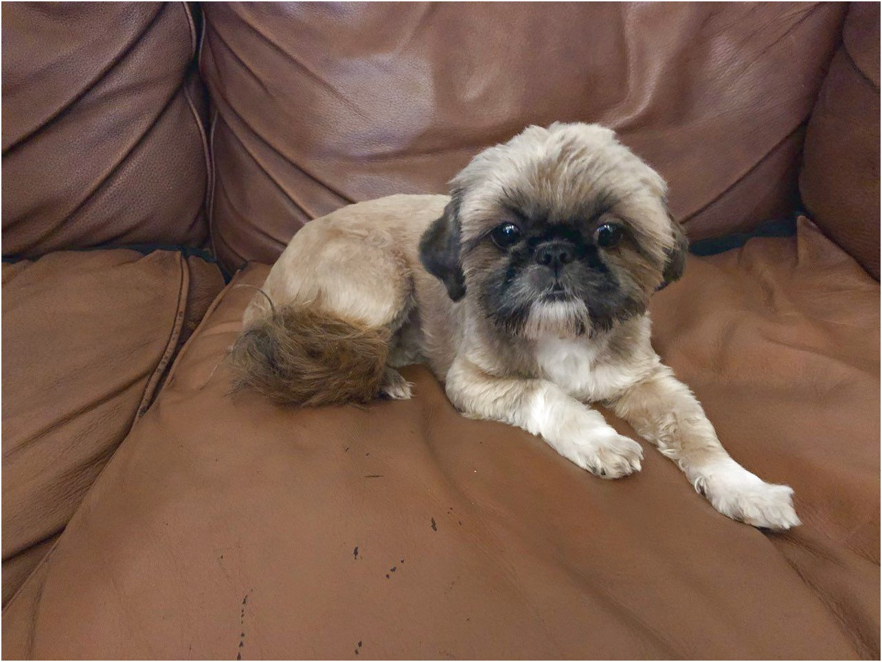 Imperial Shih Tzus For Sale
