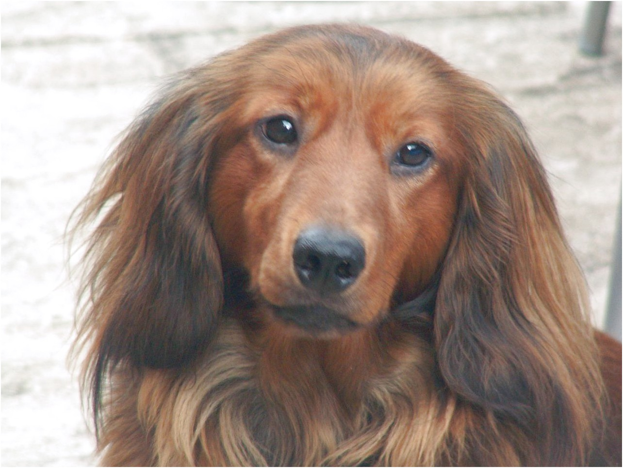 Long Haired Dachshund Puppies For Sale Near Me