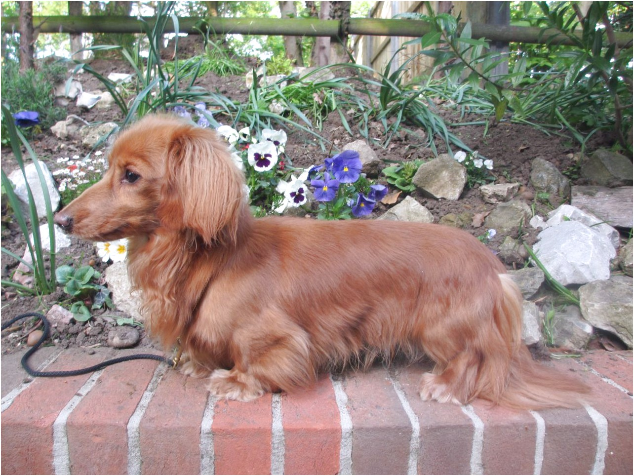 Long Haired Miniature Dachshund For Sale