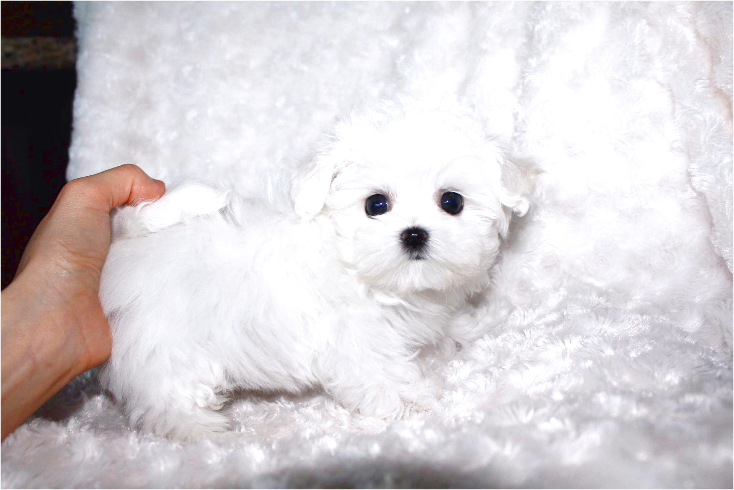 Maltese Pupies For Sale