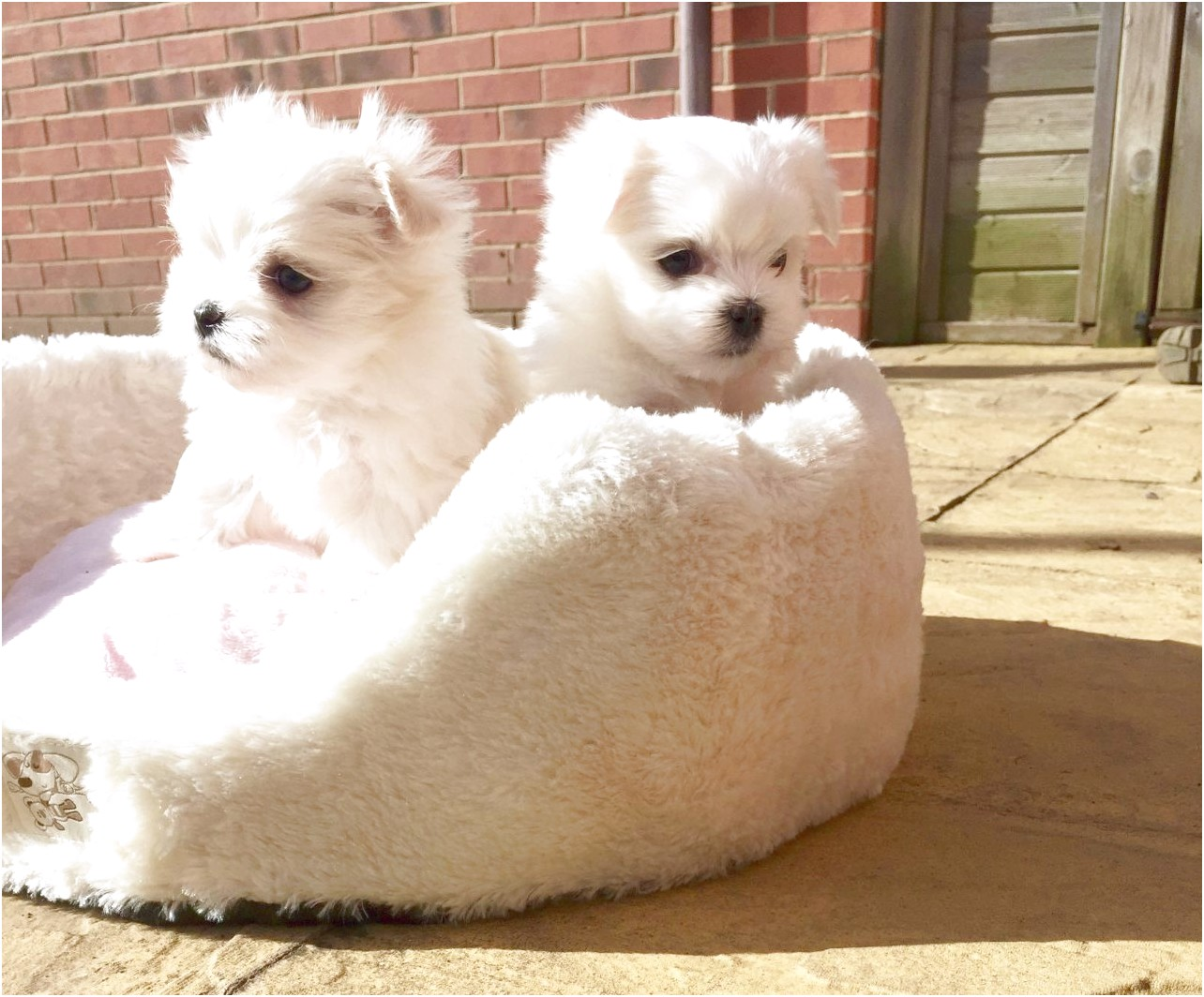Maltese Puppies For Sale Cheap