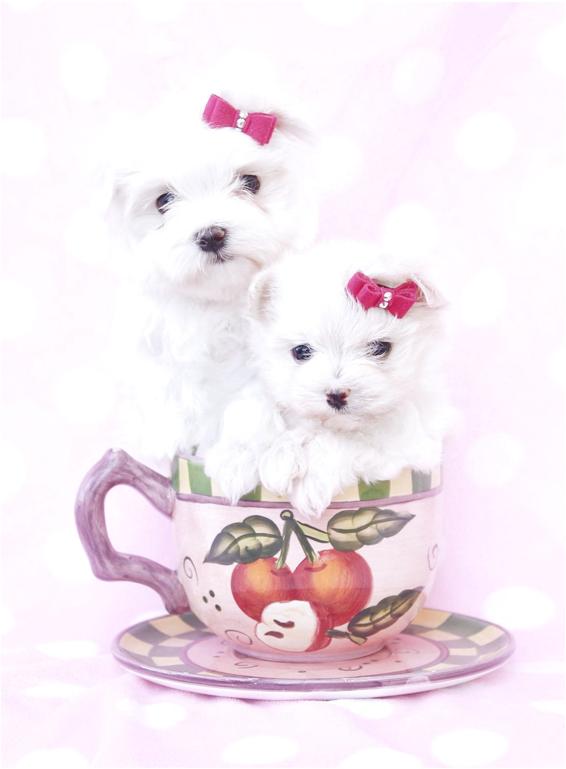 Maltese Puppies For Sale Fl