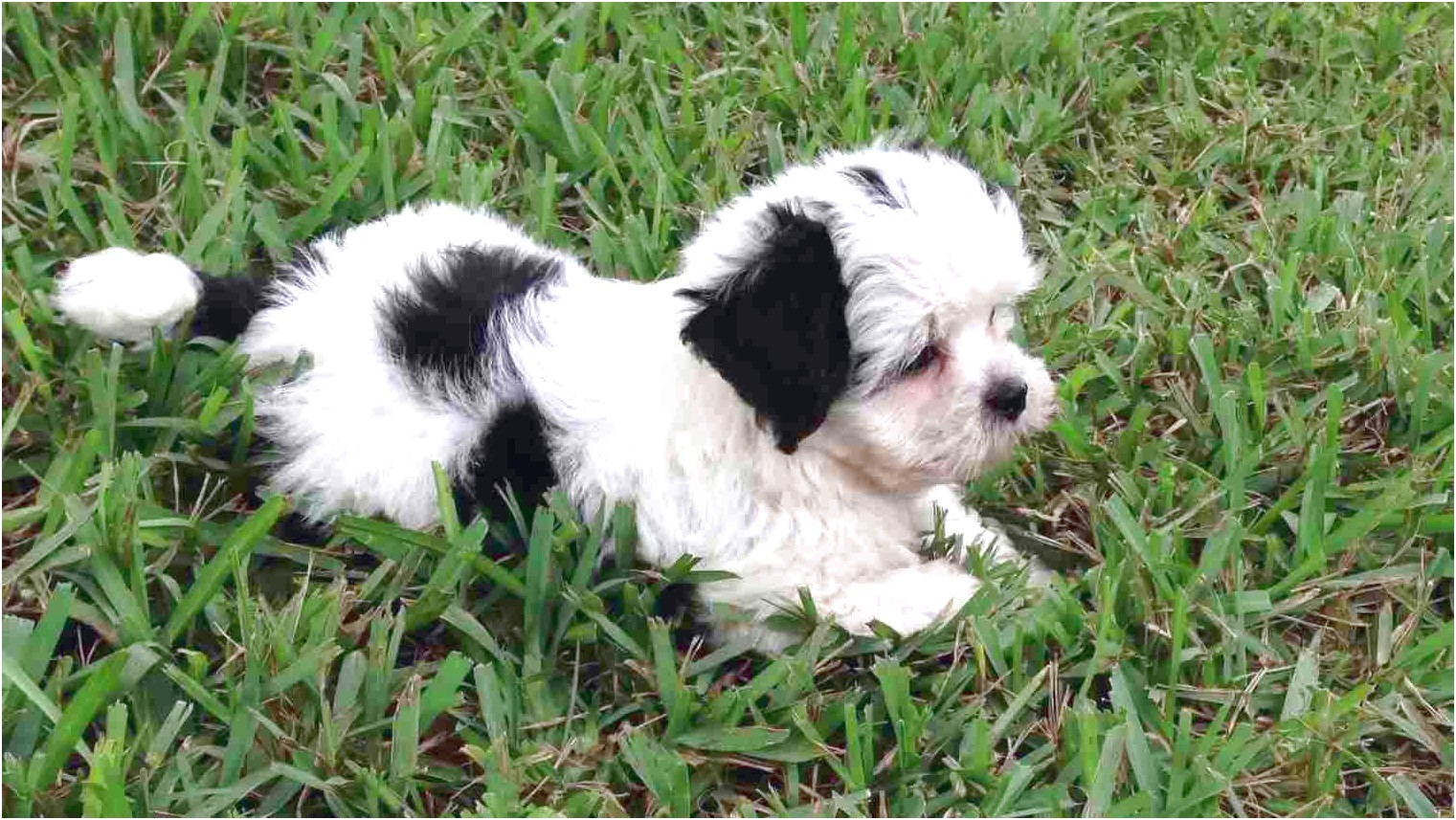 Maltese Puppies For Sale In Florida