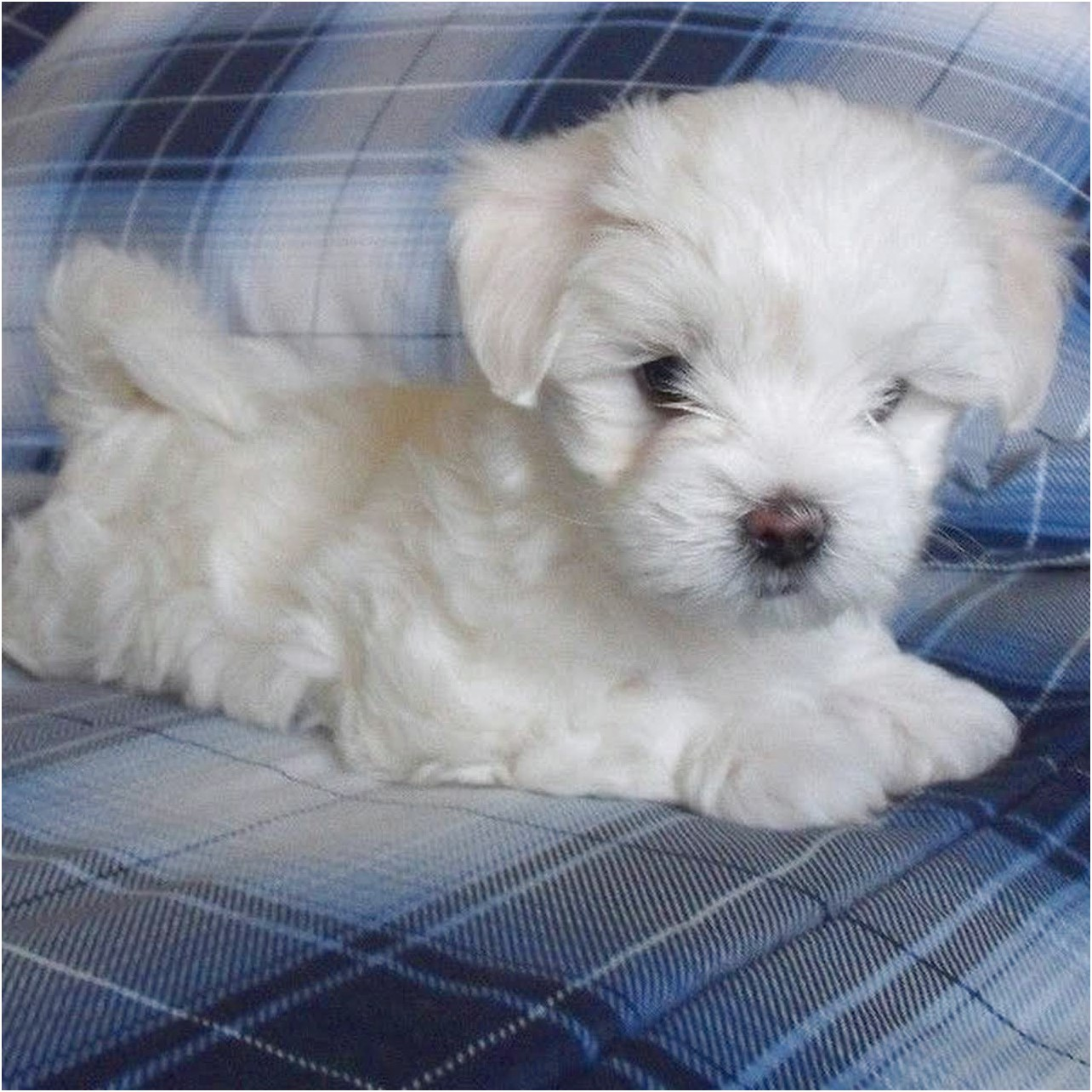 Maltese Puppies For Sale In Nj