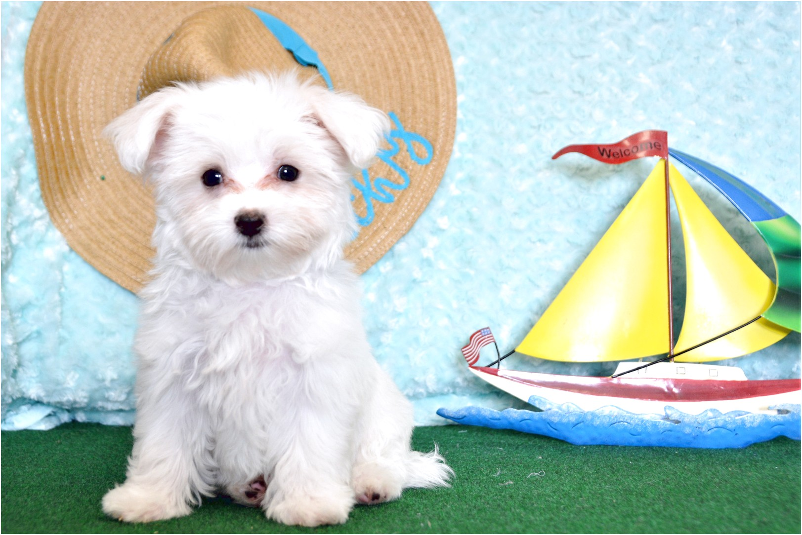 Maltese Puppies For Sale In Texas