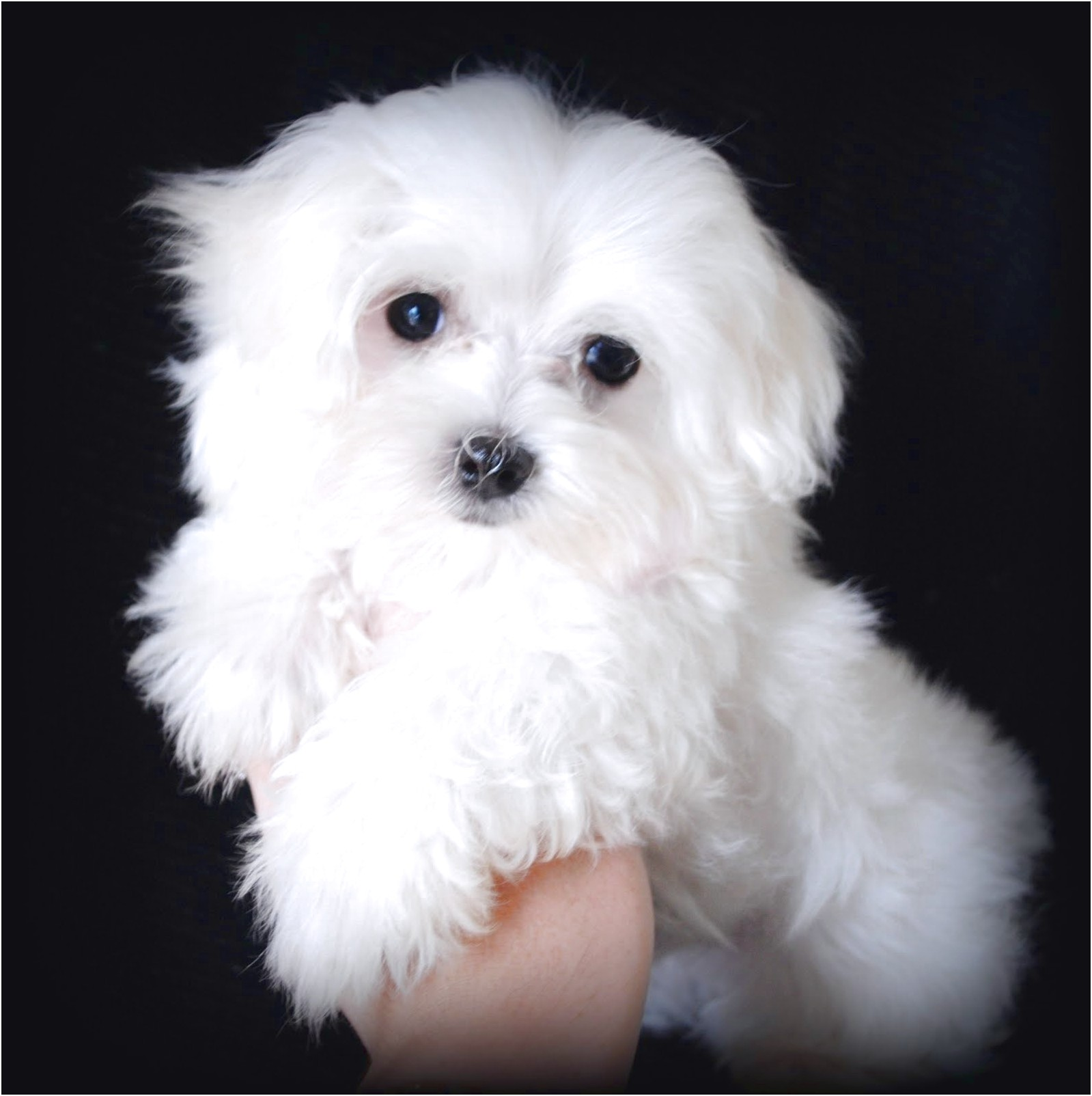 Maltese Puppies For Sale Near Me