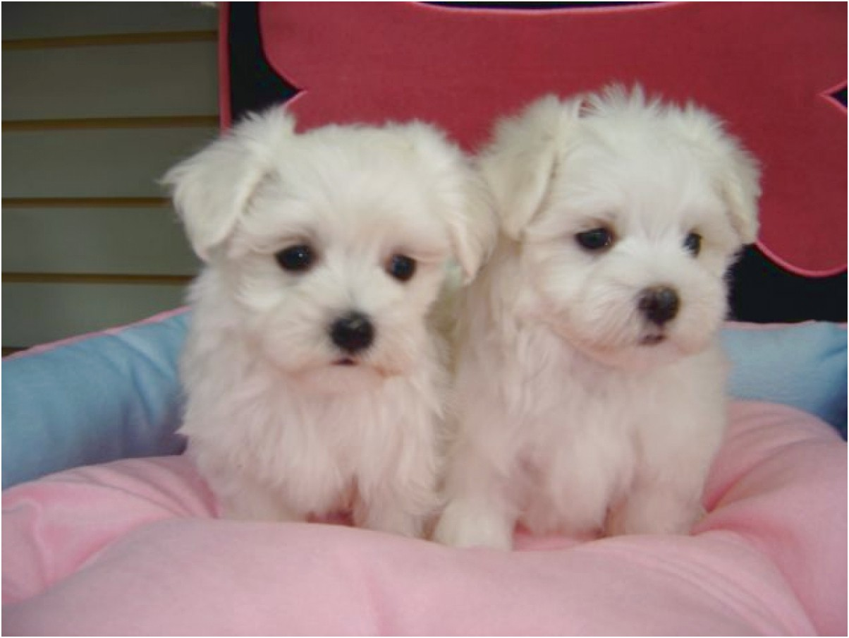 Maltese Puppies For Sale New Jersey
