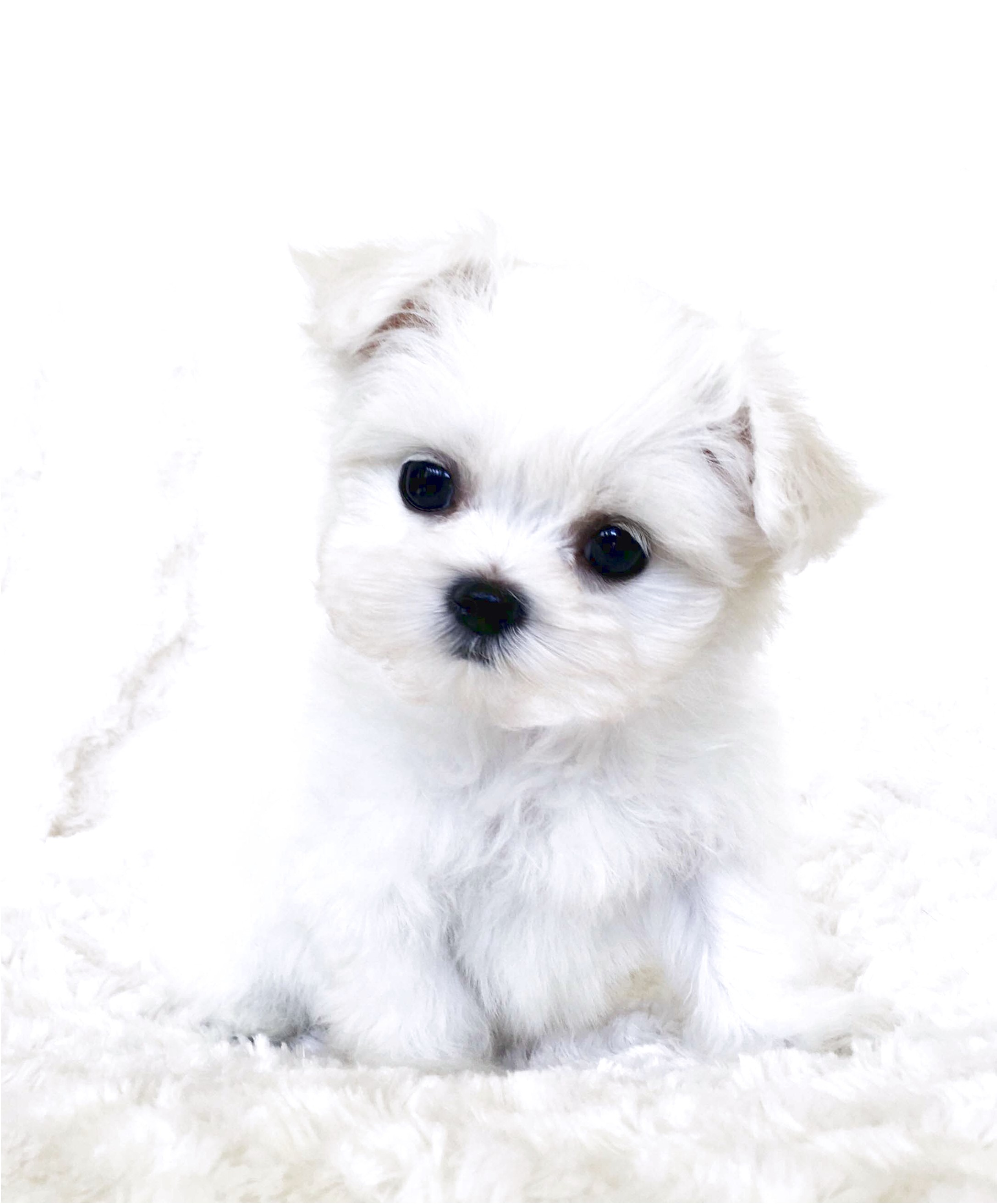 Maltese Puppies For Sale Nj