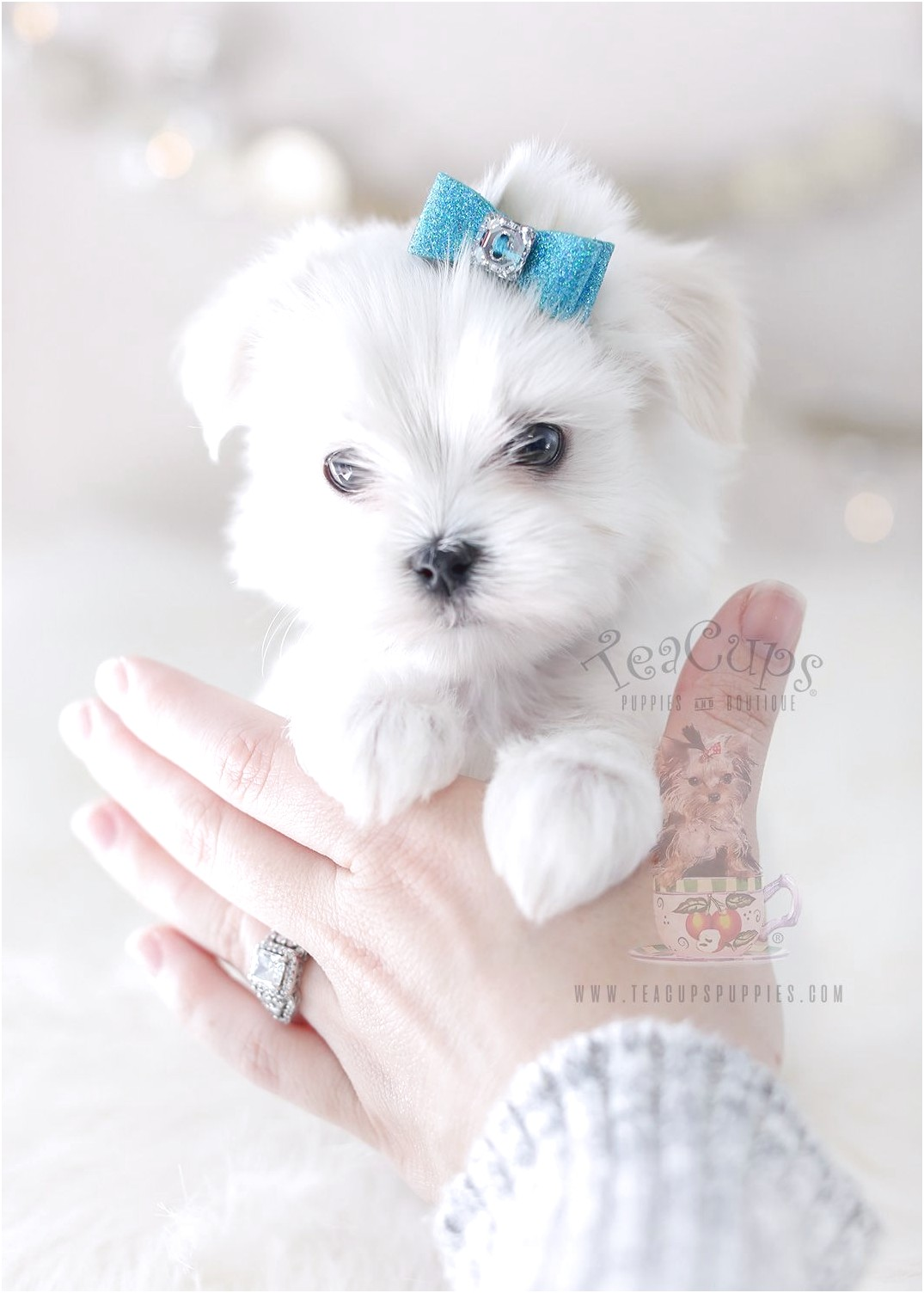Maltese Puppies Forsale