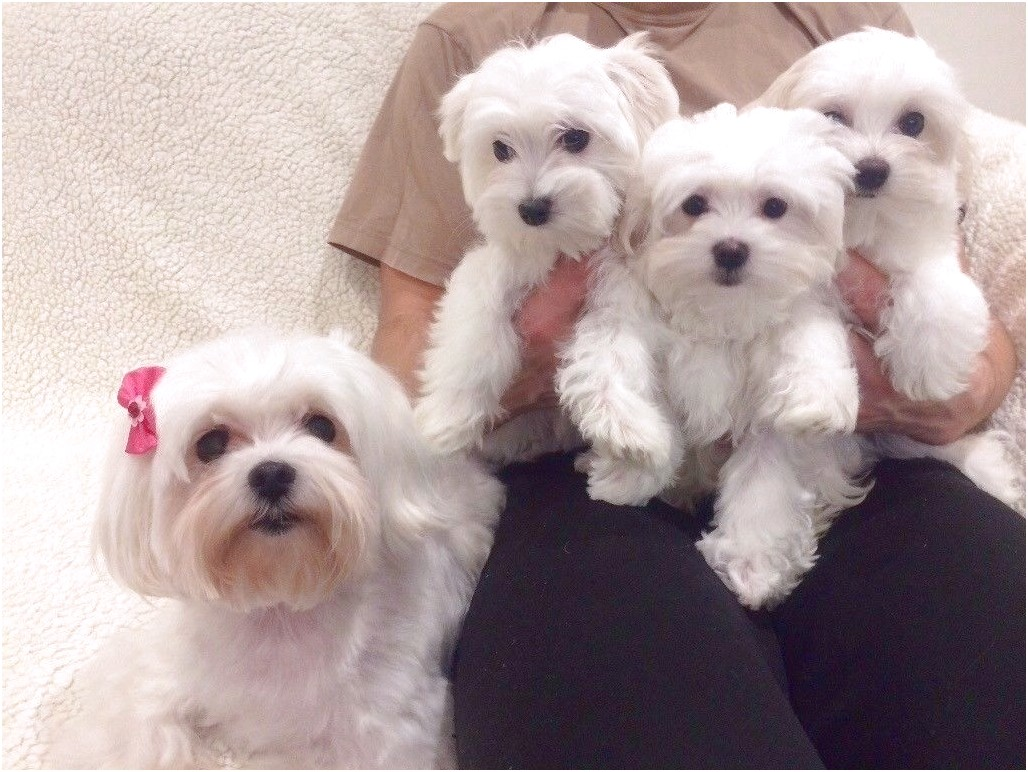 Maltese Puppies On Sale